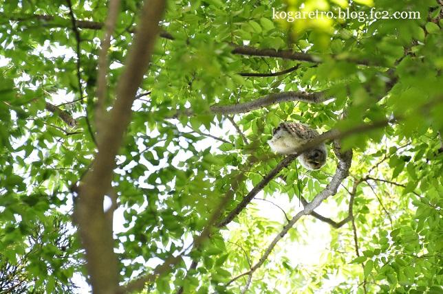 2015野木のフクロウ