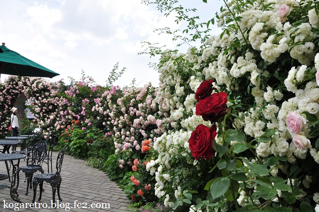 ザ・トレジャーガーデンのバラ2