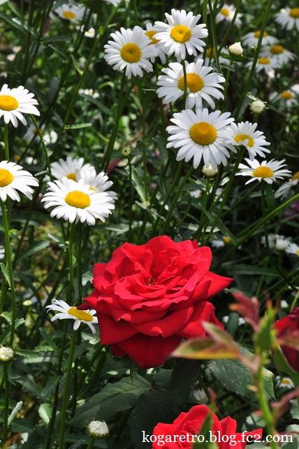 ザ・トレジャーガーデンのバラ7