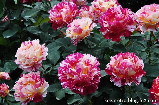 ザ・トレジャーガーデンのバラ9
