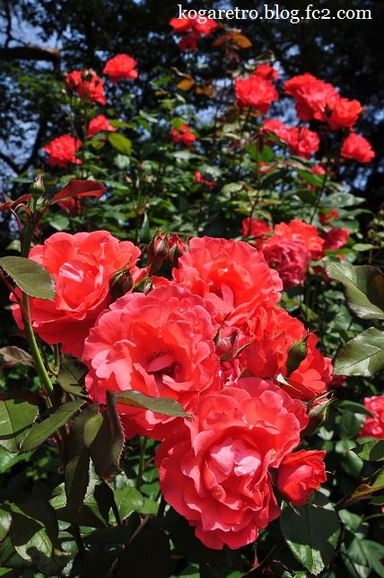 井頭公園のバラ3