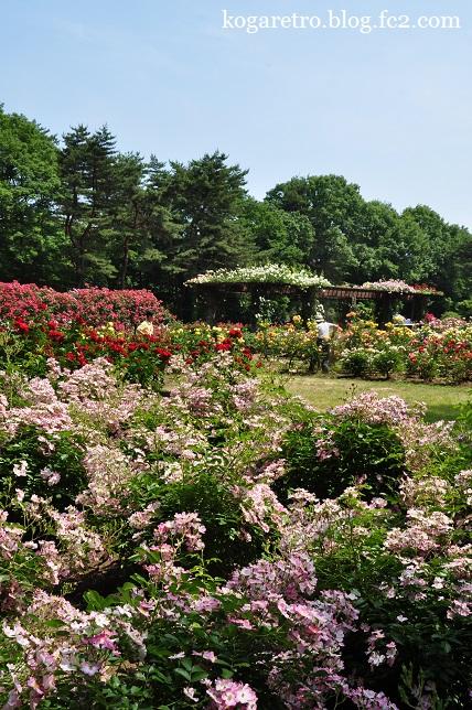 井頭公園のバラ4