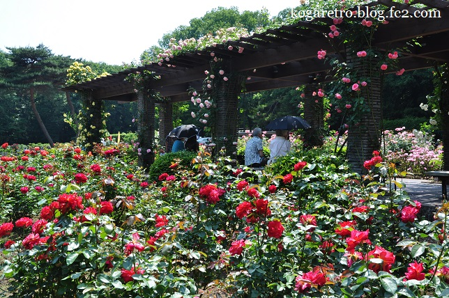 井頭公園のバラ5