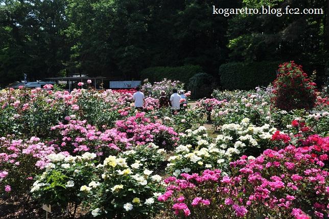 井頭公園のバラ6