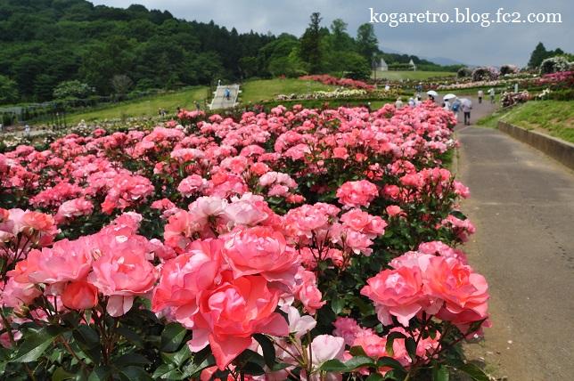 茨城県フラワーパークのバラ2