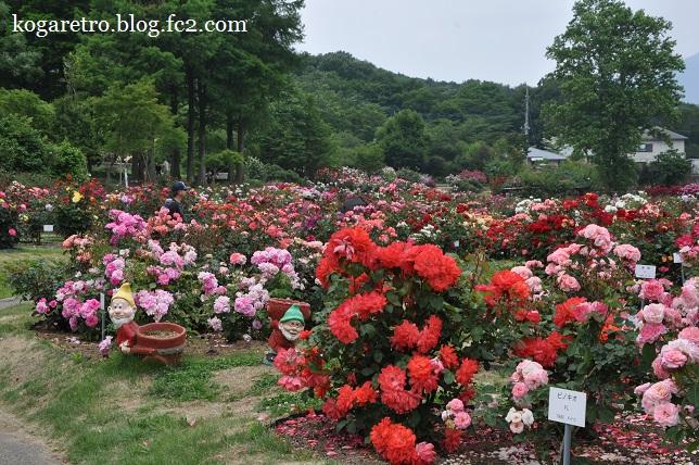 茨城県フラワーパークのバラ3
