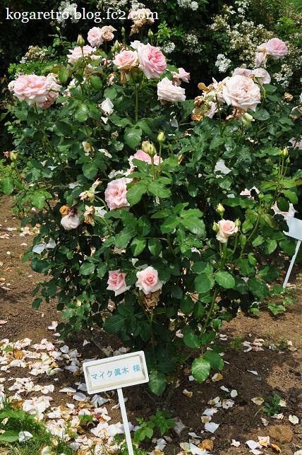 茨城県フラワーパークのバラ4