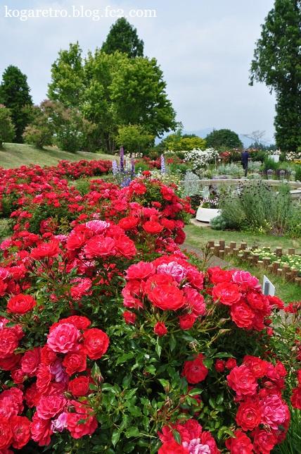 茨城県フラワーパークのバラ5