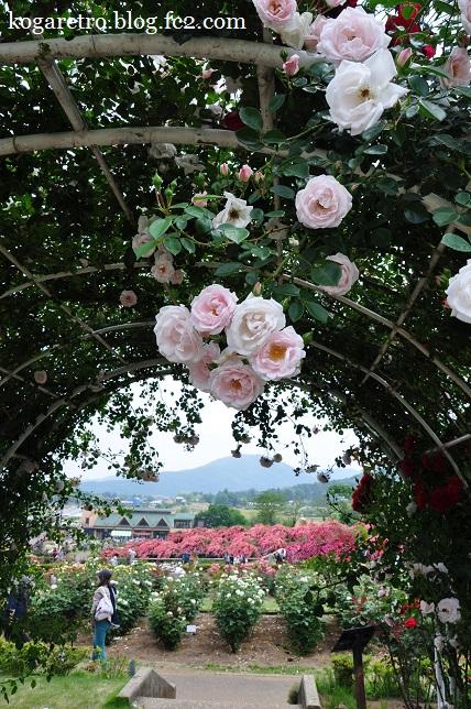 茨城県フラワーパークのバラ6