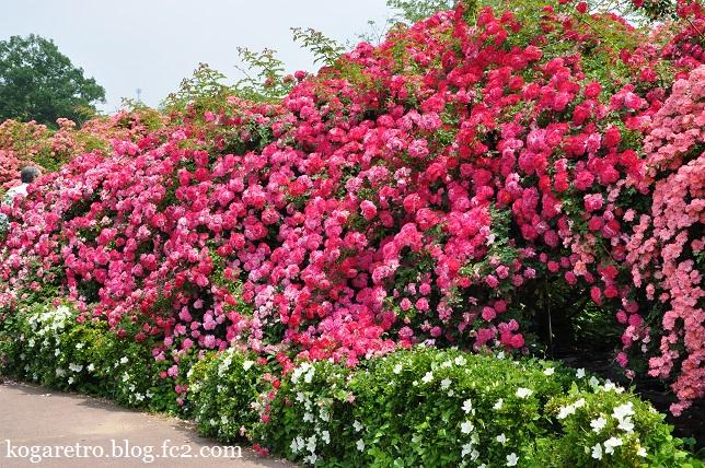 茨城県フラワーパークのバラ7
