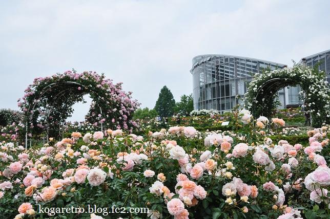 茨城県フラワーパークのバラ8
