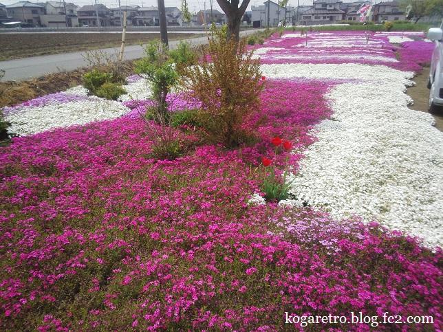 散歩道の芝桜2