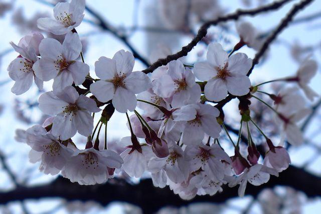 B20150330P_桜_P1050560