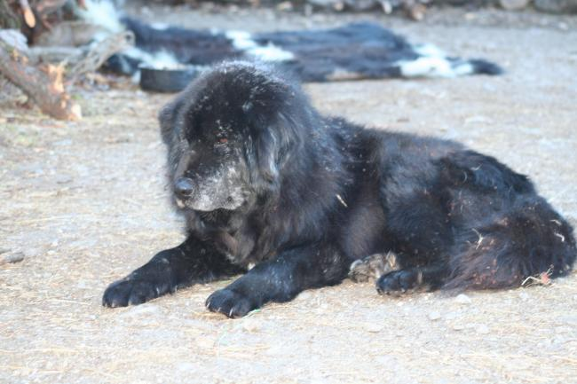 ネパール犬