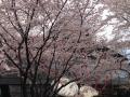 桜_2015_日野_01