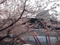 桜_2015_日野_02