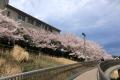 桜_2015_03