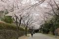 桜_2015_09
