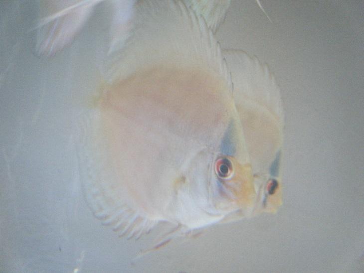 ストライプ系 幼魚