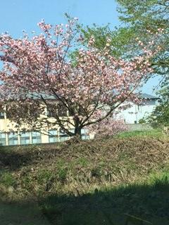 旧小学校八重桜