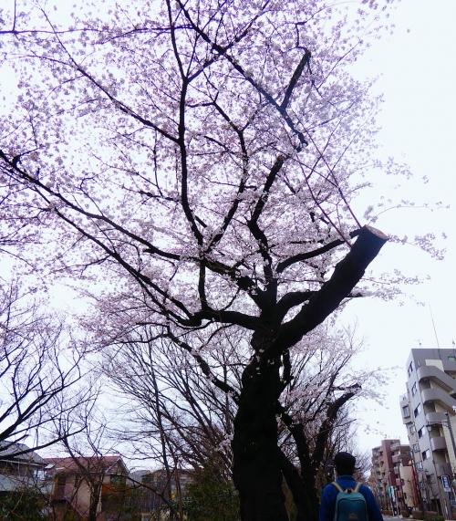 東京旅行2015春-018