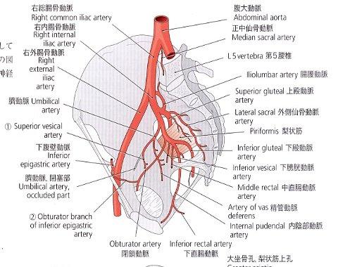股関節血管Ⅱ480×380