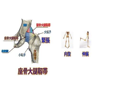 坐骨大腿靭帯Ⅱ480