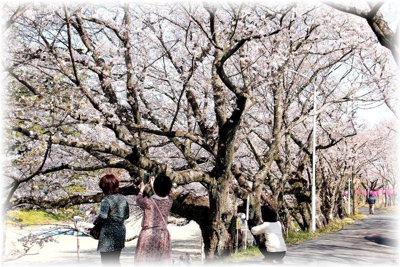 金毘羅さん桜祭り0026