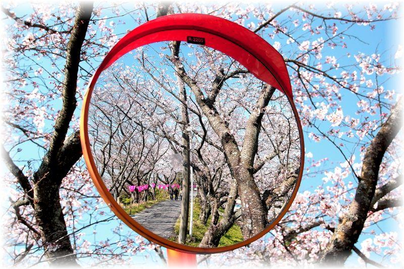 金毘羅さん桜祭り0005