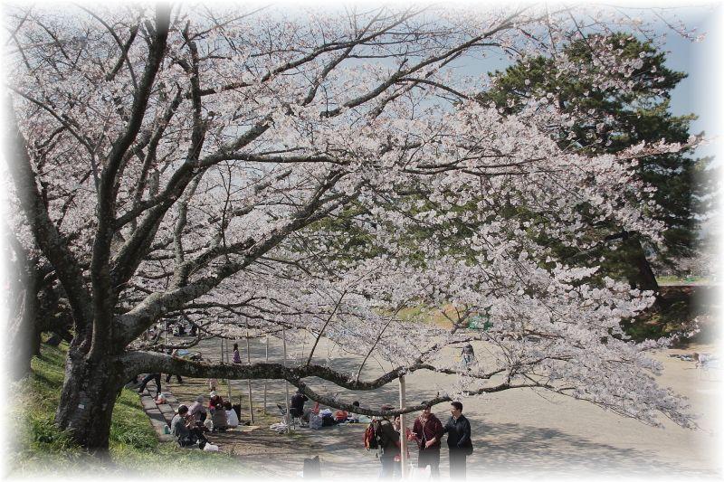 金毘羅さん桜祭り0003