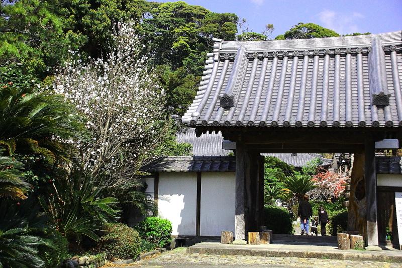 お寺さん ソテツ0231