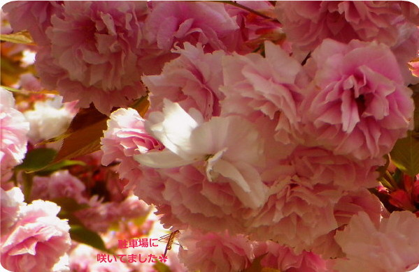 花ブ20150424-3