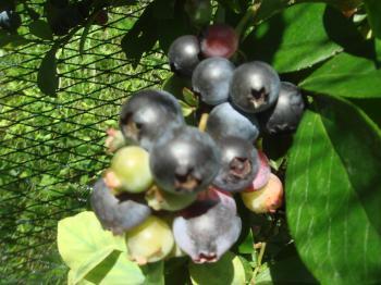 ブルーベリーの収穫始まる