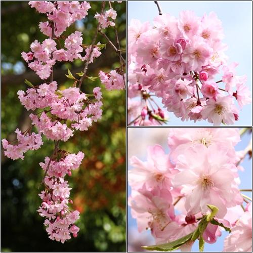 桜の写真2