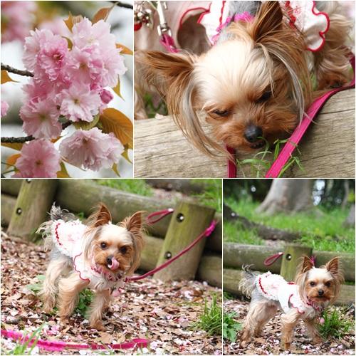 桜とココちゃん