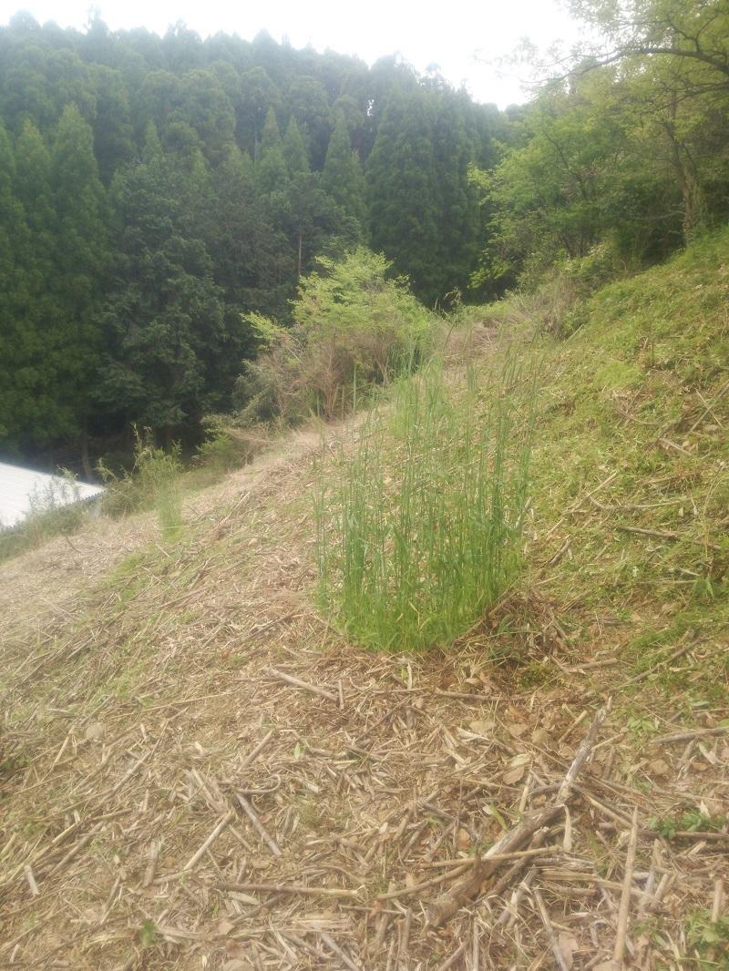 草刈150424-4