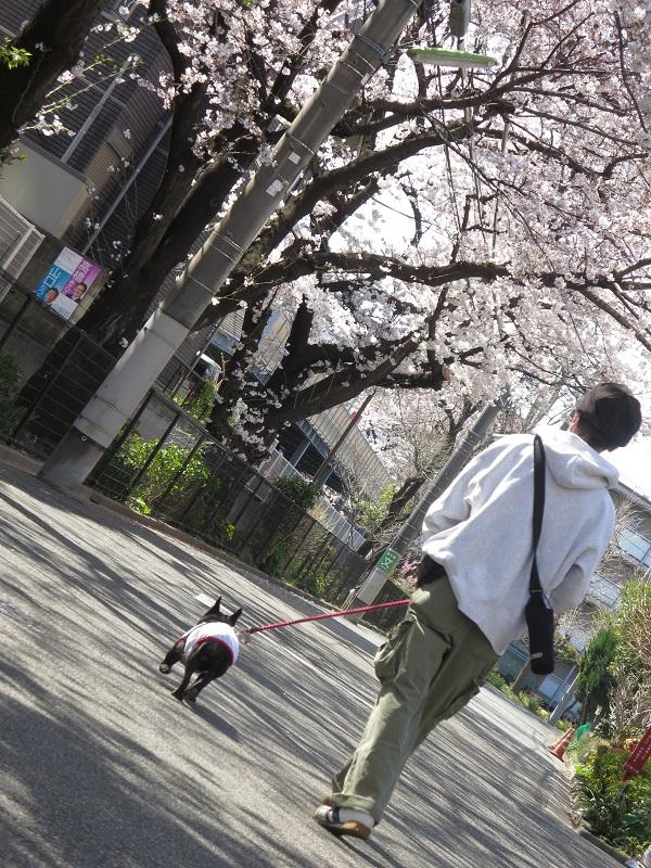 15桜ドックラン①