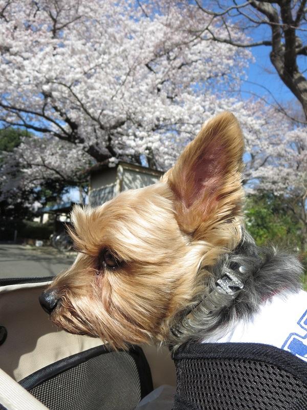 15桜ドックラン②