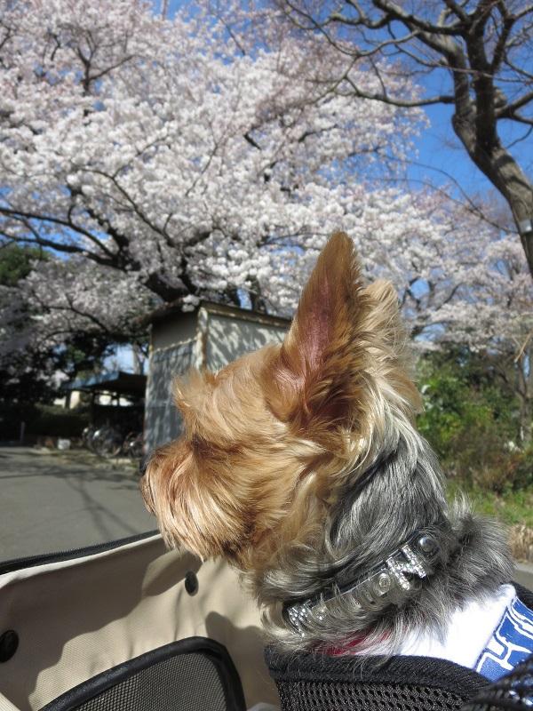 15桜ドックラン③
