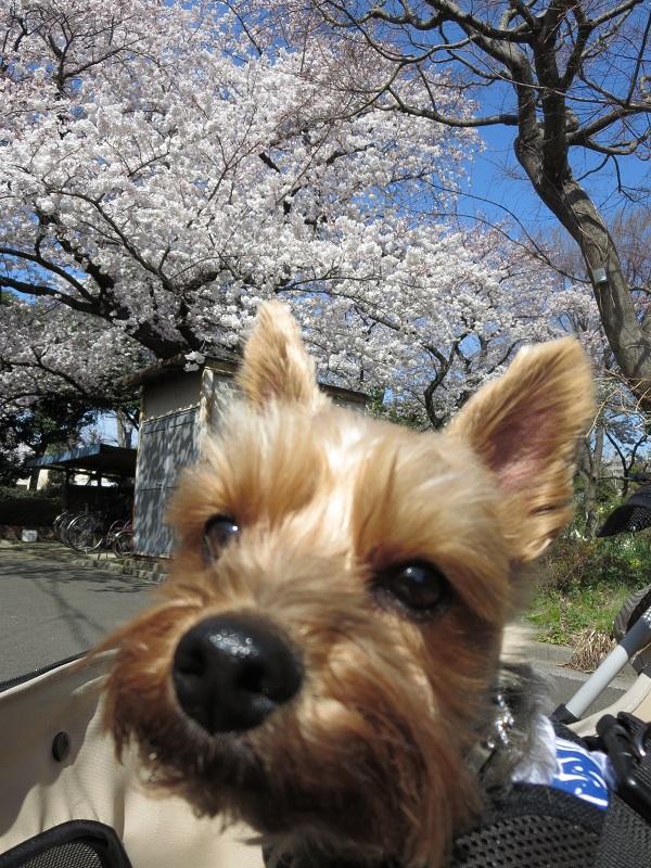 15桜ドックラン④