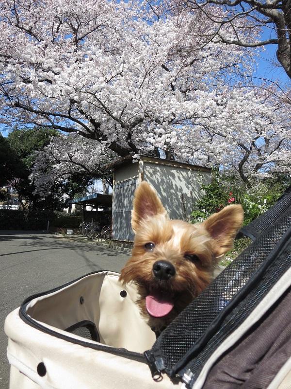 15桜ドックラン⑤