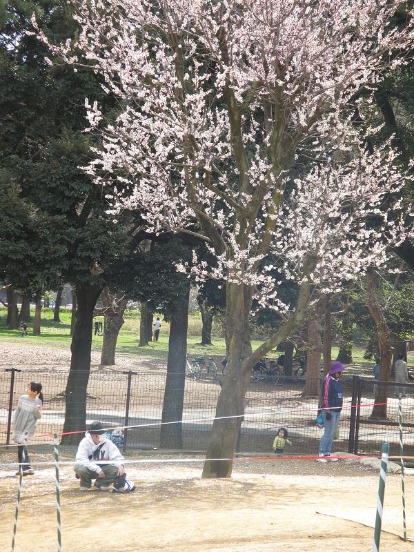 15桜ドックラン⑧