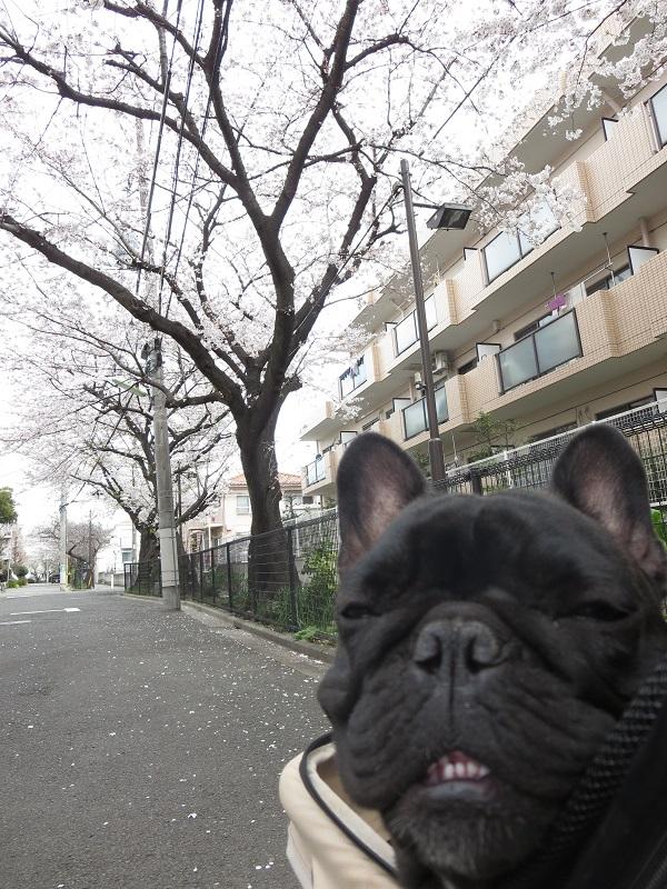 15桜ドックラン⑩
