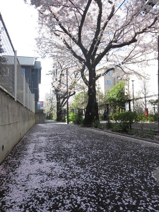 15桜風景