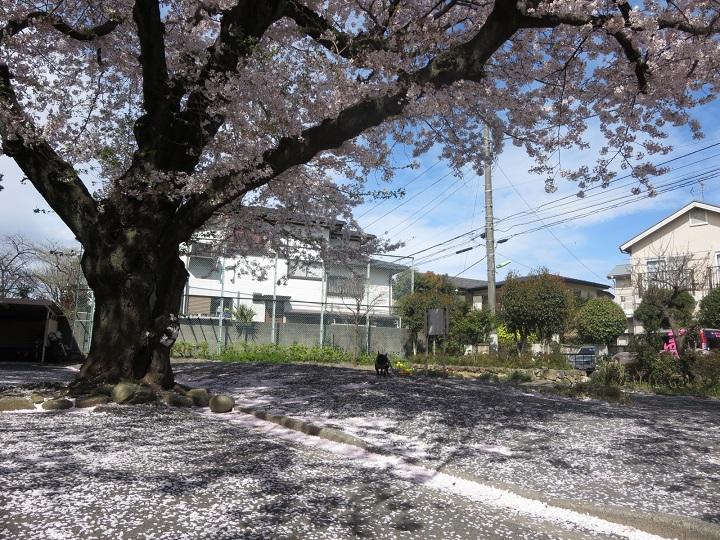 15桜団地③
