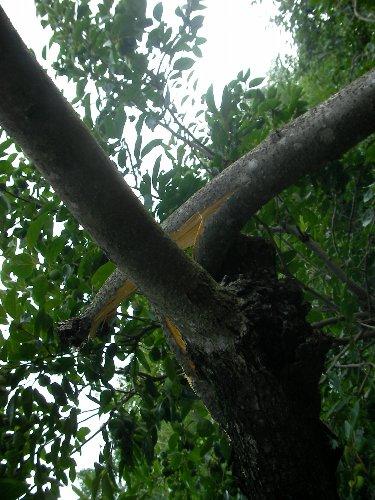 201507151641強風で折れた裏の柿木③