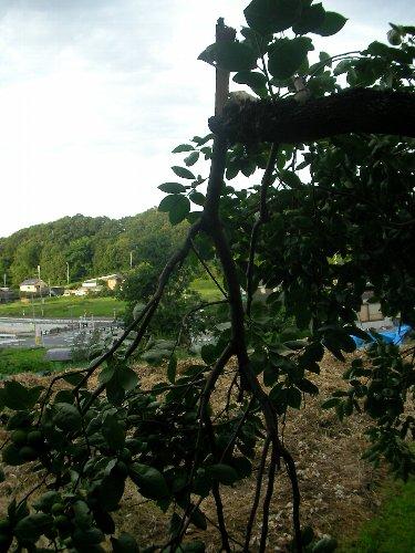 201507151641強風で折れた裏の柿木②
