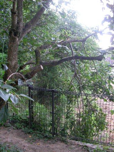 201507151641強風で折れた裏の柿木①
