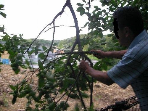 201507151826強風で折れた柿の枝④