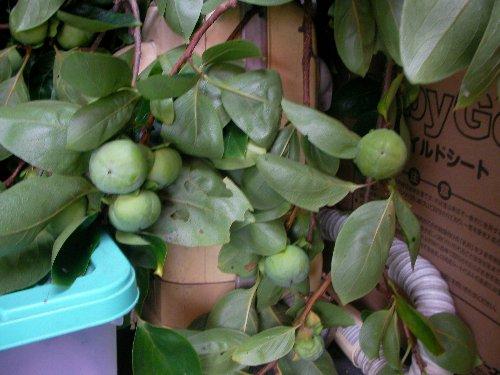 20150715に折れた柿の枝③